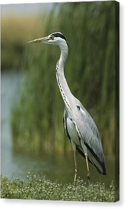 A Slender Gray Heron Standing Canvas Print by Klaus Nigge