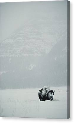 A Snow-covered American Bison Stands Canvas Print by Michael S. Quinton