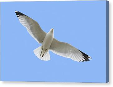 A Soaring Dove Canvas Print by Don Hammond