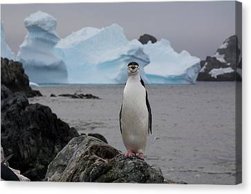 A Solitary Chinstrap Penguin Stands Canvas Print by Paul Nicklen