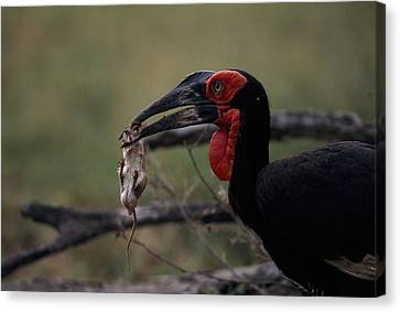 A Southern Ground Hornbill Prepares Canvas Print by Tim Laman