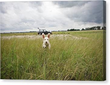 A Spanish Waterdog Running Through A Field Canvas Print by Julia Christe