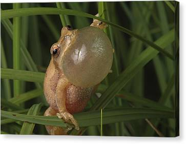 A Spring Peeper Faces The Camera Canvas Print by George Grall