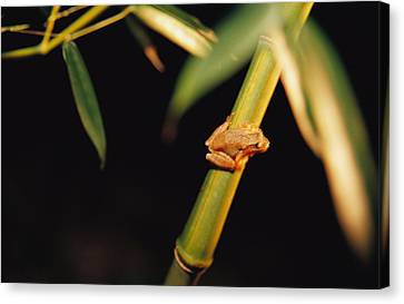 A Spring Peeper Frog Perches Canvas Print by Raymond Gehman