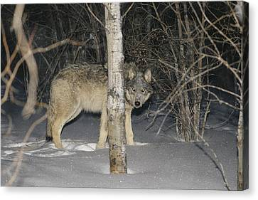 A Timber Wolf Peers From Behind A Tree Canvas Print by Paul Nicklen
