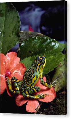 A Tiny Adult Painted Toad Atelopus Canvas Print by George Grall