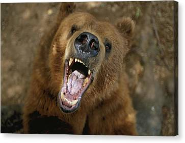 A Trained Kodiak Bear With Its Mouth Canvas Print by Joel Sartore