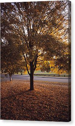 A Tree In Autumn Foliage On The Grounds Canvas Print by Sam Abell