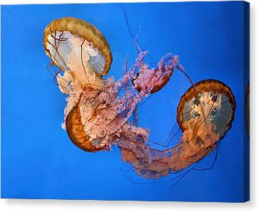 A Trio Of Jellyfish Canvas Print by Kristin Elmquist