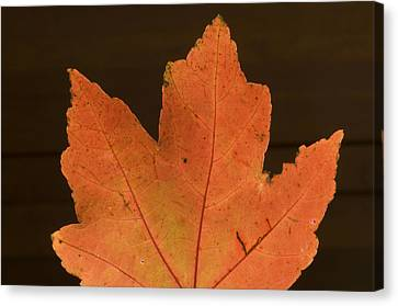 A Vibrant Colored Leaf Canvas Print by Joel Sartore