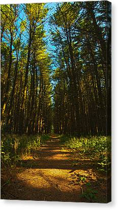 A Walk In The Pines Canvas Print by Phil Koch