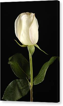 A White Rose Rosaceae Canvas Print by Joel Sartore