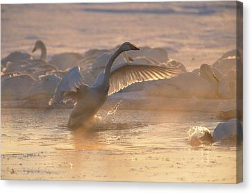 A Whooper Swan Flaps Its Wings Canvas Print by Tim Laman
