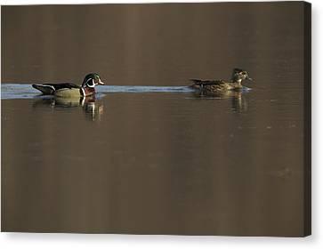 A Wood Duck Aix Sponsa Pair Canvas Print by Tim Laman