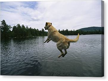 A Yellow Labrador Retriever Jumps Canvas Print by Heather Perry
