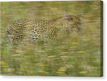 A Young Female Leopard Moving Canvas Print by Michael Melford