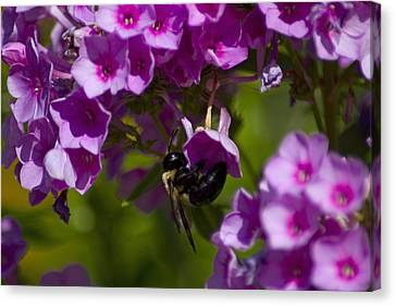 Acrobatic Bee Canvas Print by Sven Brogren
