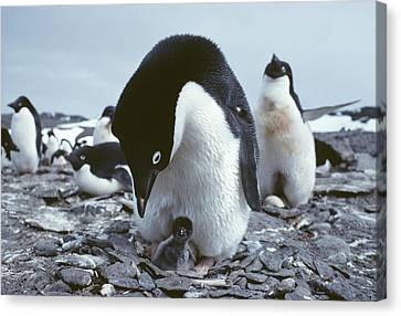 Adelie Penguin With Chick Canvas Print by Doug Allan