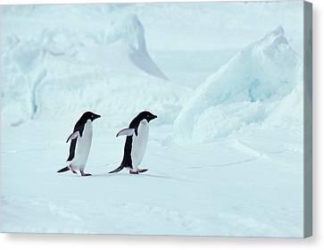 Adelie Penguins, Antarctica Canvas Print by Chris Sattlberger