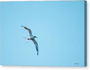 Adult Forster's Tern In Molt Canvas Print by Roena King