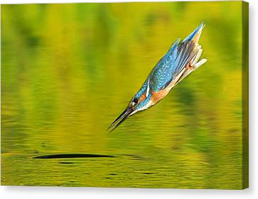 Adult Male Common Kingfisher, Alcedo Canvas Print by Joe Petersburger