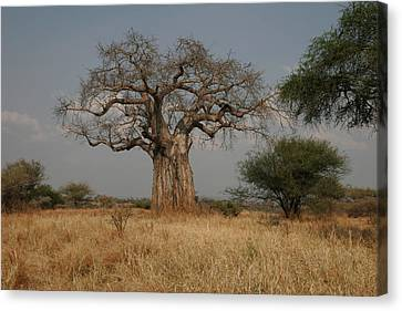 African Baobab Tree In The Tarangire Canvas Print by Gina Martin