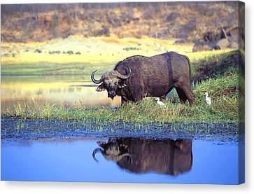African Cape Buffalo, Photographed At Canvas Print by John Pitcher
