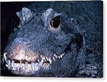 African Dwarf Crocodile Canvas Print by Dante Fenolio