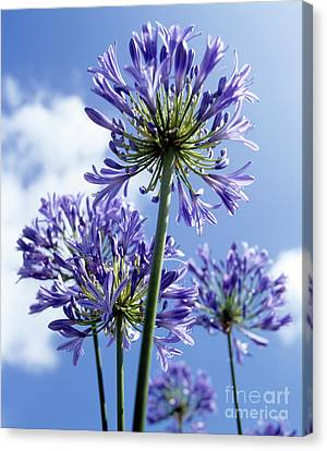 African Lilies (agapanthus Sp.) Canvas Print by Gavin Kingcome