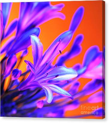 African Lily (agapanthus Sp.) Canvas Print by Johnny Greig