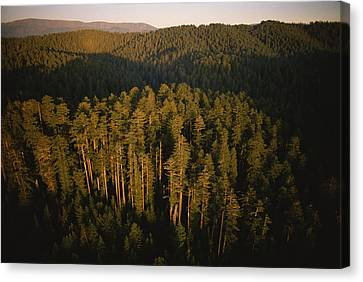 Afternoon Sunlight Bathes Redwood Trees Canvas Print by James P. Blair