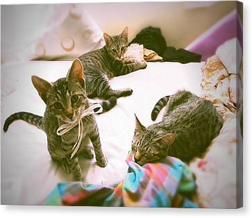All 3 Kittens Together  Canvas Print by Gemma Geluz