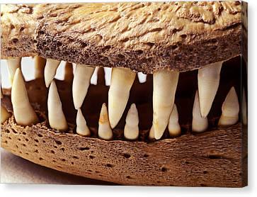 Alligator Skull Teeth Canvas Print by Garry Gay