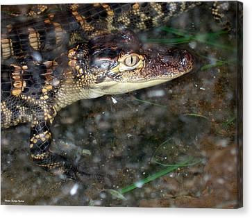 Alligator Canvas Print by Suhas Tavkar