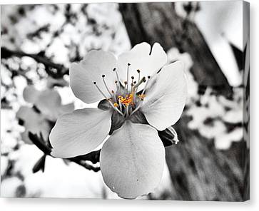 Almond Blossom Canvas Print by Marianna Mills