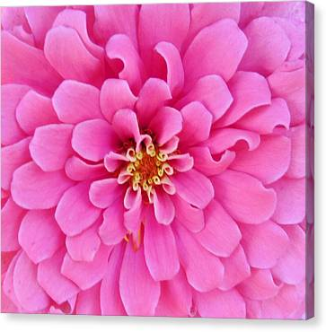 Almost Perfect Zinna Canvas Print by Jeanette Oberholtzer
