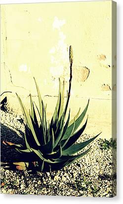 Aloe Canvas Print by Laurel Heritage