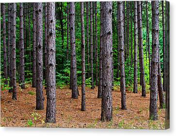 Alone Among The Pines Canvas Print by Rachel Cohen