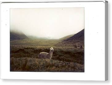 Alpaca Canvas Print by photography by Pamela Abad