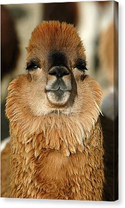 alpacas in the highlands. Republic of Bolivia. Canvas Print by Eric Bauer