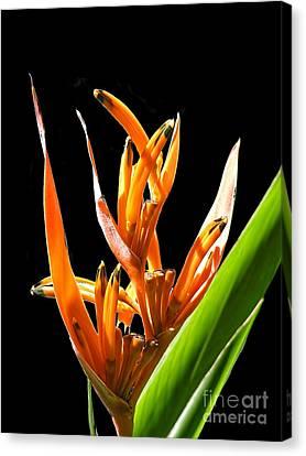 Amazonian Bird Of Paradise Flower Canvas Print by Alexandra Jordankova
