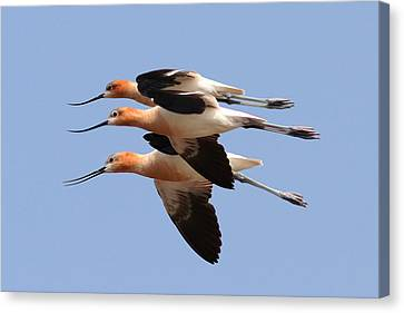 American Avocets Canvas Print by Phil Lanoue
