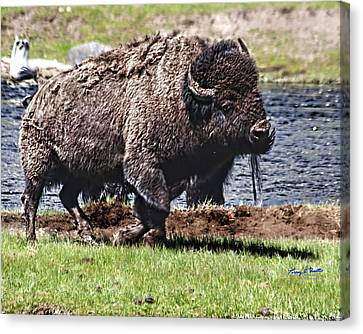 American Bison Img 8881   2012 Canvas Print by Torrey E Smith