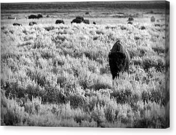 American Bison In Black And White Canvas Print by Sebastian Musial
