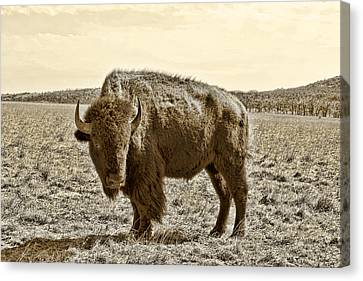 American Bison In Gold Sepia- Right View Canvas Print by Tony Grider