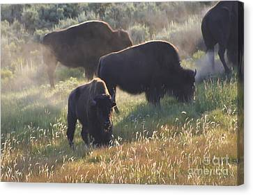 American Bison In Yellowstone Canvas Print by Teresa Zieba