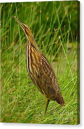American Bittern Looking Up Canvas Print by Robert Frederick