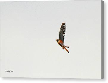 American Kestrel In Flight Canvas Print by Roena King