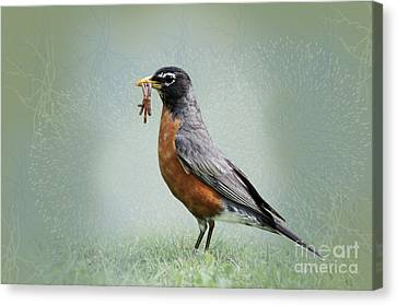 American Robin With Worms Canvas Print by Betty LaRue