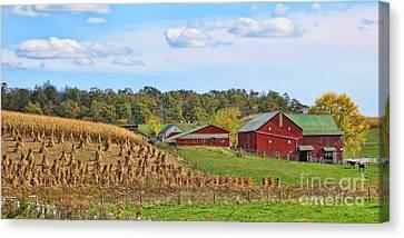 Amish Cornfield Canvas Print by Jack Schultz